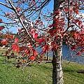 Red Leaves by George Pedro
