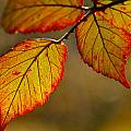 Red Leaves by Guido Montanes Castillo