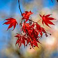 Red Leaves by Michael Brooks