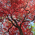 Red Leaves On Tree by Duane McCullough