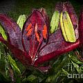 Red Lily 5 by Steve Purnell