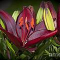 Red Lily 6 by Steve Purnell