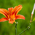 Red Lily - Featured 3 by Alexander Senin