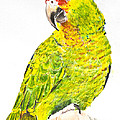 Red Lored Amazon Parrot In Watercolor by Kate Sumners