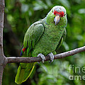 Red-lored Parrot On Branch by Rosemary Calvert