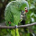 Red-lored Parrot by Rosemary Calvert