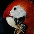 Red Macaw by Ernie Echols
