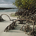 Red Mangrove Root Galapagos Islands by Tui De Roy