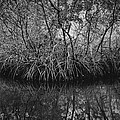 Red Mangroves Number 1 by Phil Penne
