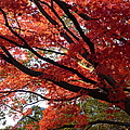 Red Maple 01 by Richard Reeve