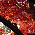 Red Maple 02 by Richard Reeve