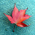 Red Maple Blue by Nicki Bennett