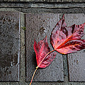 Red Maple Bricks by John Daly