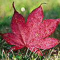 Red Maple Leaf And Dew by Eti Reid