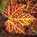 Red Maple Leaf by Claudia Kuhn