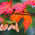 Red Maple Leaves by Amy Porter