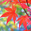 Red Maple Leaves by Duane McCullough