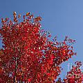 Red Maple Leaves by Jonathan Welch