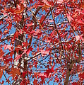 Red Maple Leaves  by Linda Brody