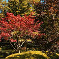 Red Maple by Penny Lisowski