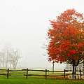 Red Maple Tree And A Split-rail Fence by Les Palenik