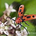 Red Milkweed Beetle by Phil Degginger