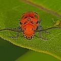 Red Milkweed Beetle by Tony Beck