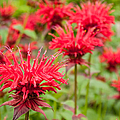 Red Monarda by Rob Huntley