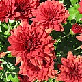 Red Mums by TN Fairey
