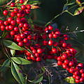 Red Nandina Berries - The Heavenly Bamboo by Kathy Clark