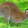 Red Necked Wallaby by Millard H. Sharp