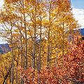 Red Oak Brush And Golden Aspens by Mitch Johanson