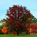 Red Oak In Loose Park by Catherine Sherman