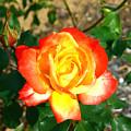 Red Orange And Yellow Rose by Darren Burton