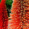Red-orange Flower Of Eremurus Ruiter-hybride by Jola Martysz