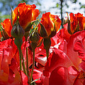 Red Orange Roses Art Prints Floral Photography by Baslee Troutman
