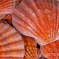 Red Orange Sea Shells by Amy Cicconi