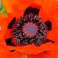 Red Oriental Poppy by Christiane Schulze Art And Photography