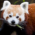 Red Panda  Ailurus Fulgens Eating by David Kenny