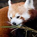 Red Panda  Ailurus Fulgens In Captivity by David Kenny