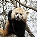 Red Panda Bear In A Tree by DejaVu Designs