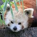 Red Panda by Karol Livote