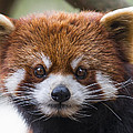 Red Panda by Phil Abrams