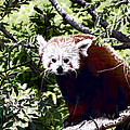 Red Panda by Photographic Art by Russel Ray Photos