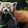 Red Panda With An Attitude by Greg Nyquist