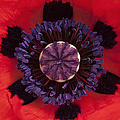 Red Papaver Orientale by Tim Gainey