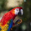 Red Parrot  by Garry Gay