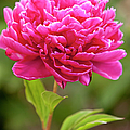 Red Peony by Brian Jannsen