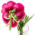 Red Peony Flower Back by Edward Fielding