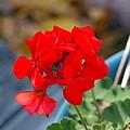 Red Petals by Darrell Clakley